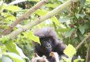 Navštivte pražskou ZOO a odevzdejte starý mobilní telefon nebo tablet, pomůžete ochránit gorily v Africe