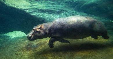 Výroční slavnost Zoo Praha: Znovuotevření pavilonu hrochů a vítání Tchéca